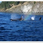 3997726-Whales_off_the_coast_of_San_Juan_Island_Victoria